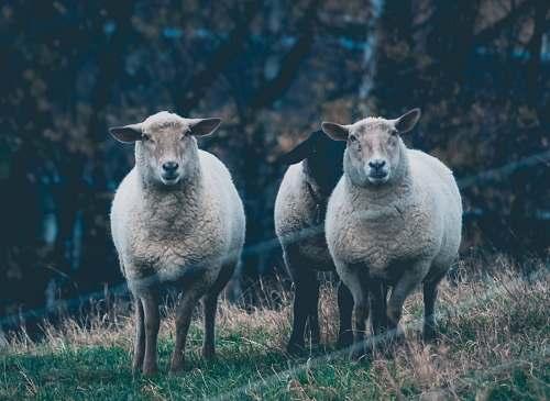 sheep three sheep on green grass field mammal