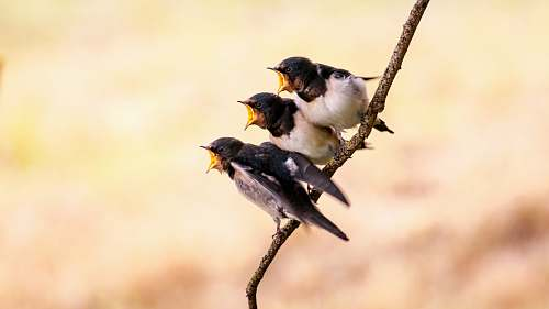 bird three white and black birds on branch swallow