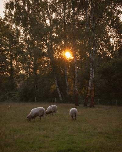 mammal three white sheep on grass sheep