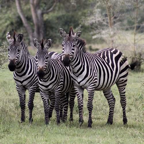 zebra three zebra standing on grass field mammal