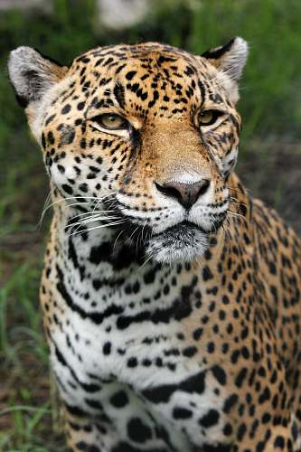 jaguar tiger closeup photography wildlife