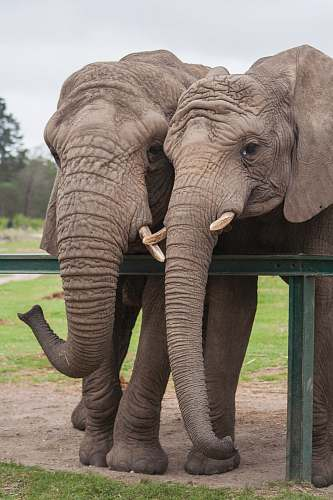 mammal two adult elephants beside green railing elephant