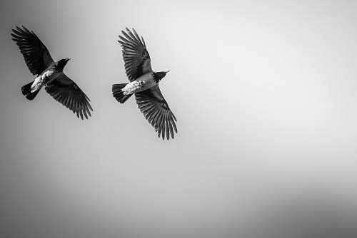 flying two black birds black-and-white