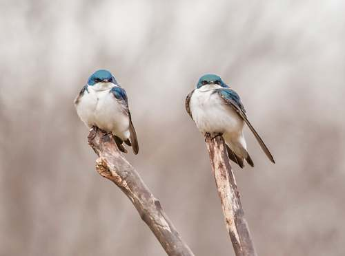bird two blue birds on tree branch swallow