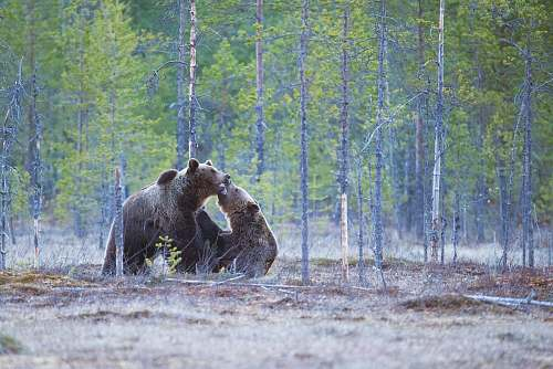 bear two brown bears on forest wildlife