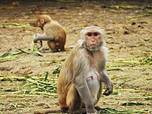mammal two brown monkeys on sitting on ground wildlife