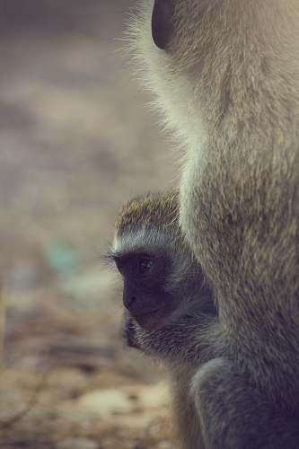 mammal two brown primates monkey