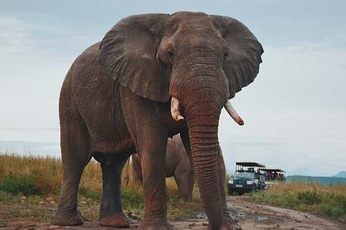 wildlife two elephants walking on ground near people riding vehicle elephant