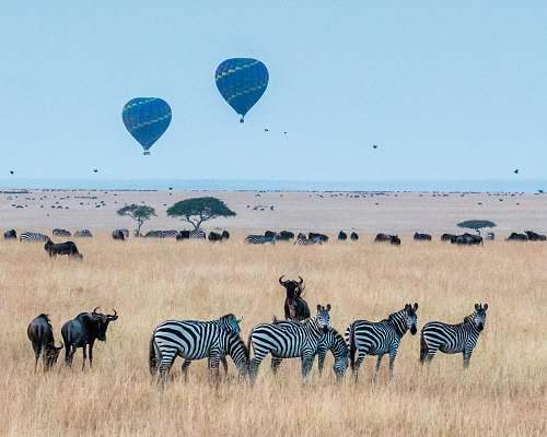 wildlife two hot air balloons in the wild zebra