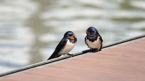 bird two white-black-blue birds swallow