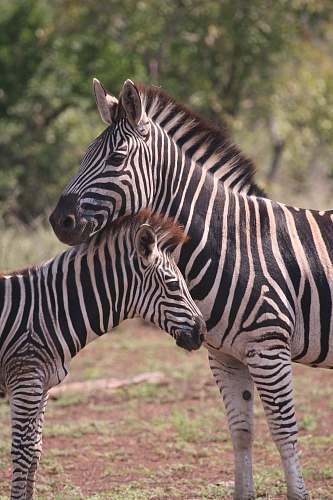zebra two zebra photography wildlife