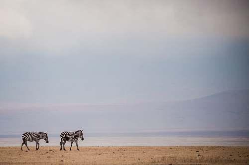 wildlife two zebras walking on brown sand zebra