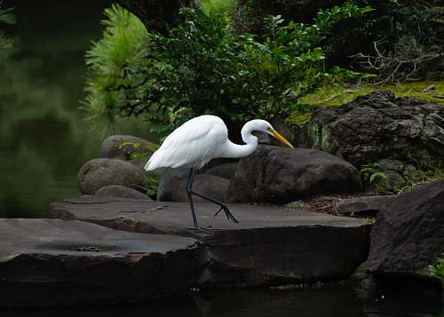 photo bird white bird on rock ardeidae free for commercial use images