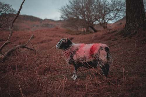 mammal white, black, and red goat outdoors sheep
