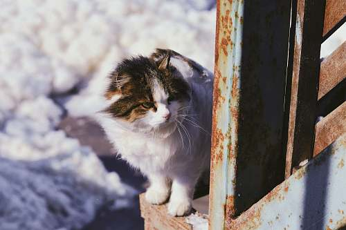 mammal white cat cat
