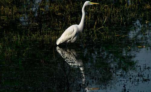photo waterfowl white crane bird ardeidae free for commercial use images