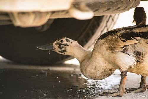 bird white duck duck