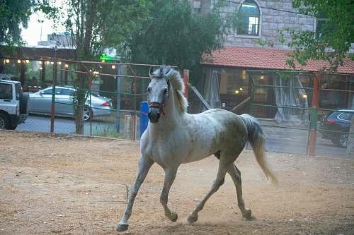 mammal white horse running horse