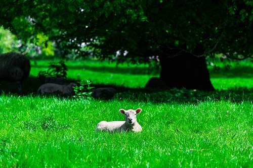 mammal white lamb on green grass lawn sheep