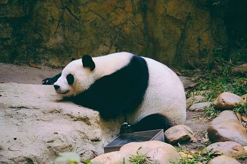 bear white panda lying on rock wildlife