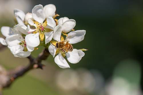 bee white petaled flowers plant