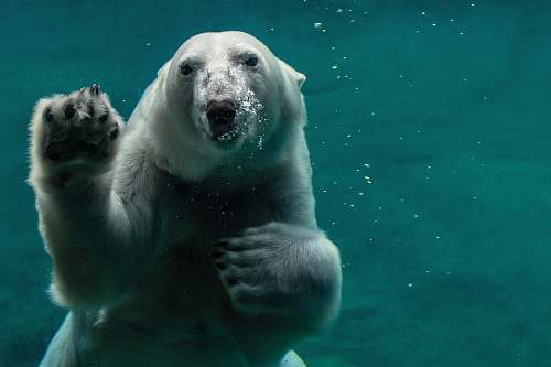 mammal white polar bear swimming bear