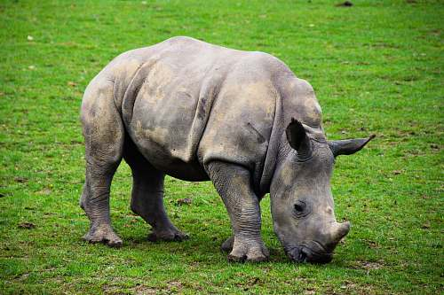 wildlife white rhinocerus elephant