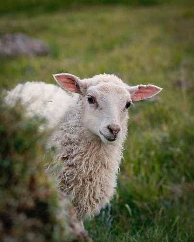 mammal white sheep standing on green grass sheep