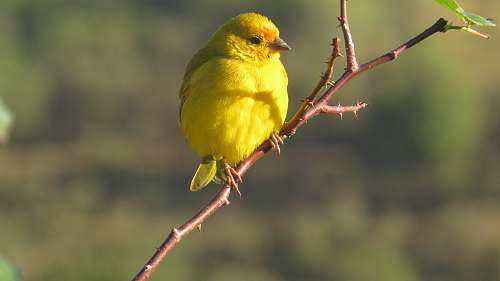 bird yellow small bird porches on plant branch canary