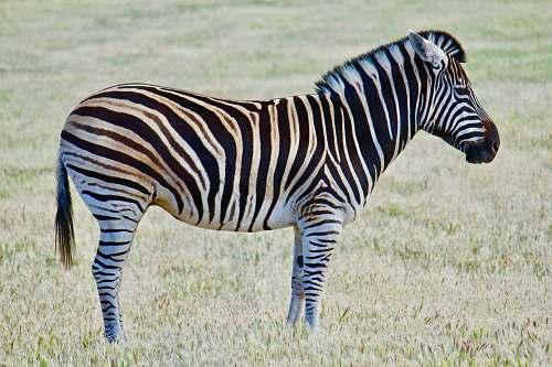 zebra zebra on green grass field during daytime photo wildlife