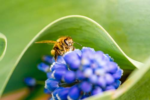 insect selective focus photography of brown bee on blue flower invertebrate