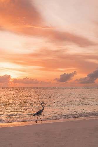 animal black and brown swan beside seashore nature