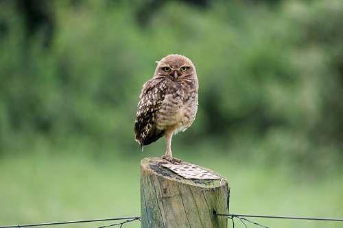 animal brown owl accipiter