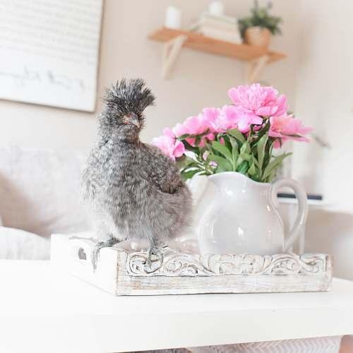 animal gray bird chicken