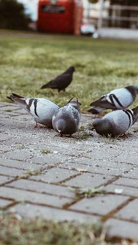 animal pigeon birds in green field dove