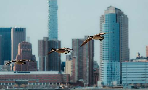 animal three brown birds near high rise buildings flying
