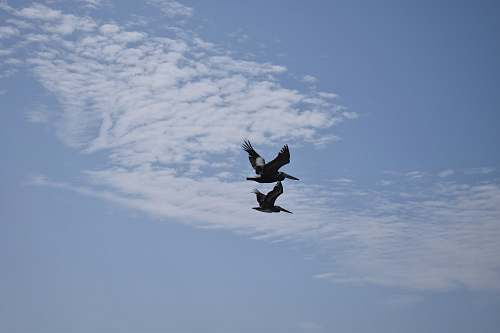 animal two black-and-gray birds under white clouds and blue sky flying