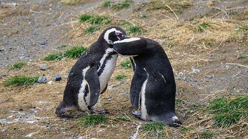animal two penguins penguin