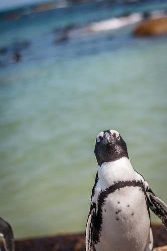 animal white and black penguin penguin