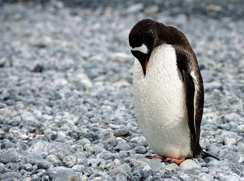 animal white and black penguin looking downward on field penguin