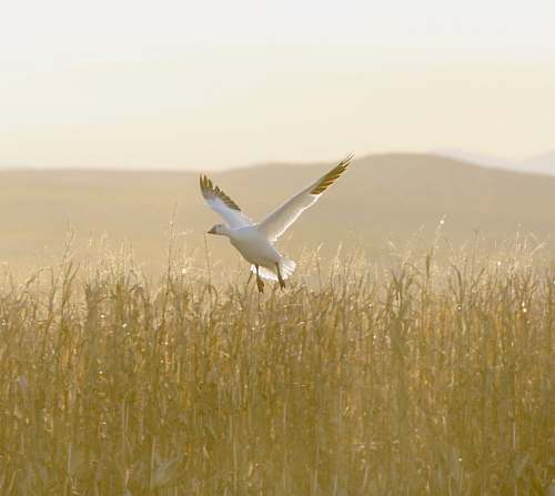 grass white duck flying on wheat field plant