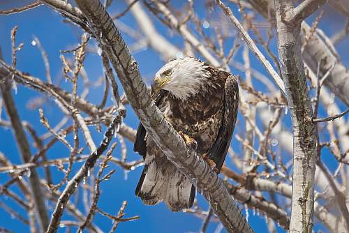 animal wildlife photography of eagle perching on tree brand during daytime eagle