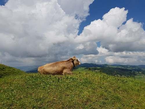 animal brown cow on a field cattle