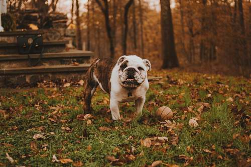 photo bulldog English bulldog beside ball on grass animal free for commercial use images