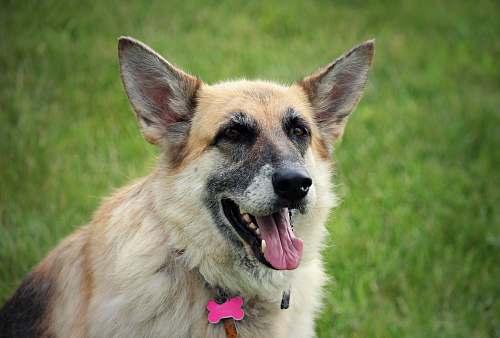 animal medium-coated tan dog canine