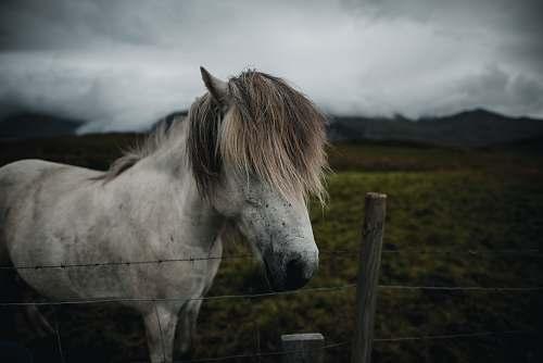 animal white horse near fence mammal