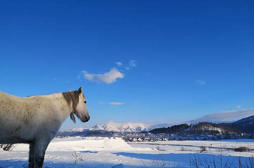 animal white horse standing on snow covered ground mammal