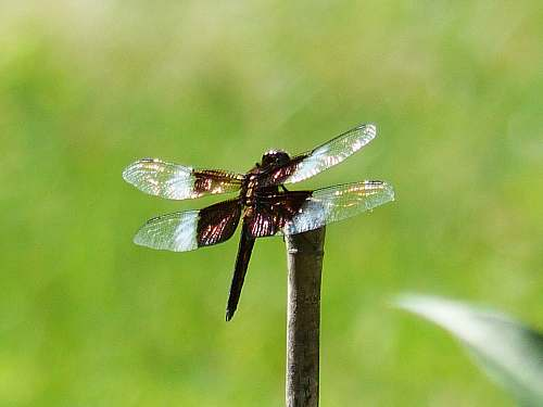 photo animal dragonfly on wood invertebrate free for commercial use images