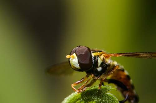 insect black and brown dragonfly wasp