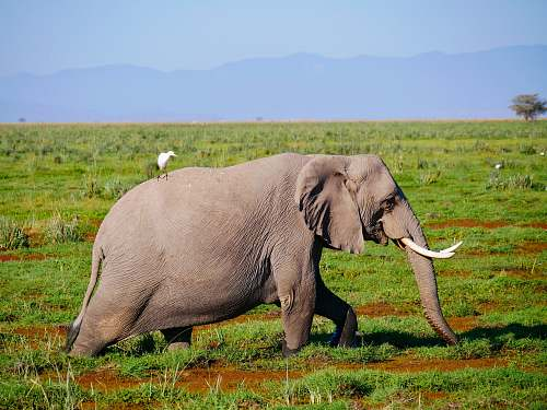 animal adult elephant walking on grass field elephant